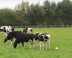 Co-grazing of young cattle and broiler chickens