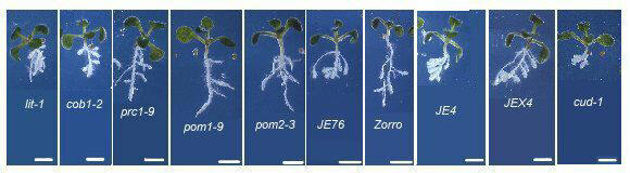 Phenotype of 10 days old cell expansion mutants of Arabidopsis thaliana