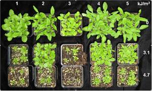 Phenotypic variations of five different Arabidopsis accessions exposed for 10 days to a daily dose of 3.1 or 4.7 kJ/m2 UV-B (Hilscher and Hauser, unpublished)