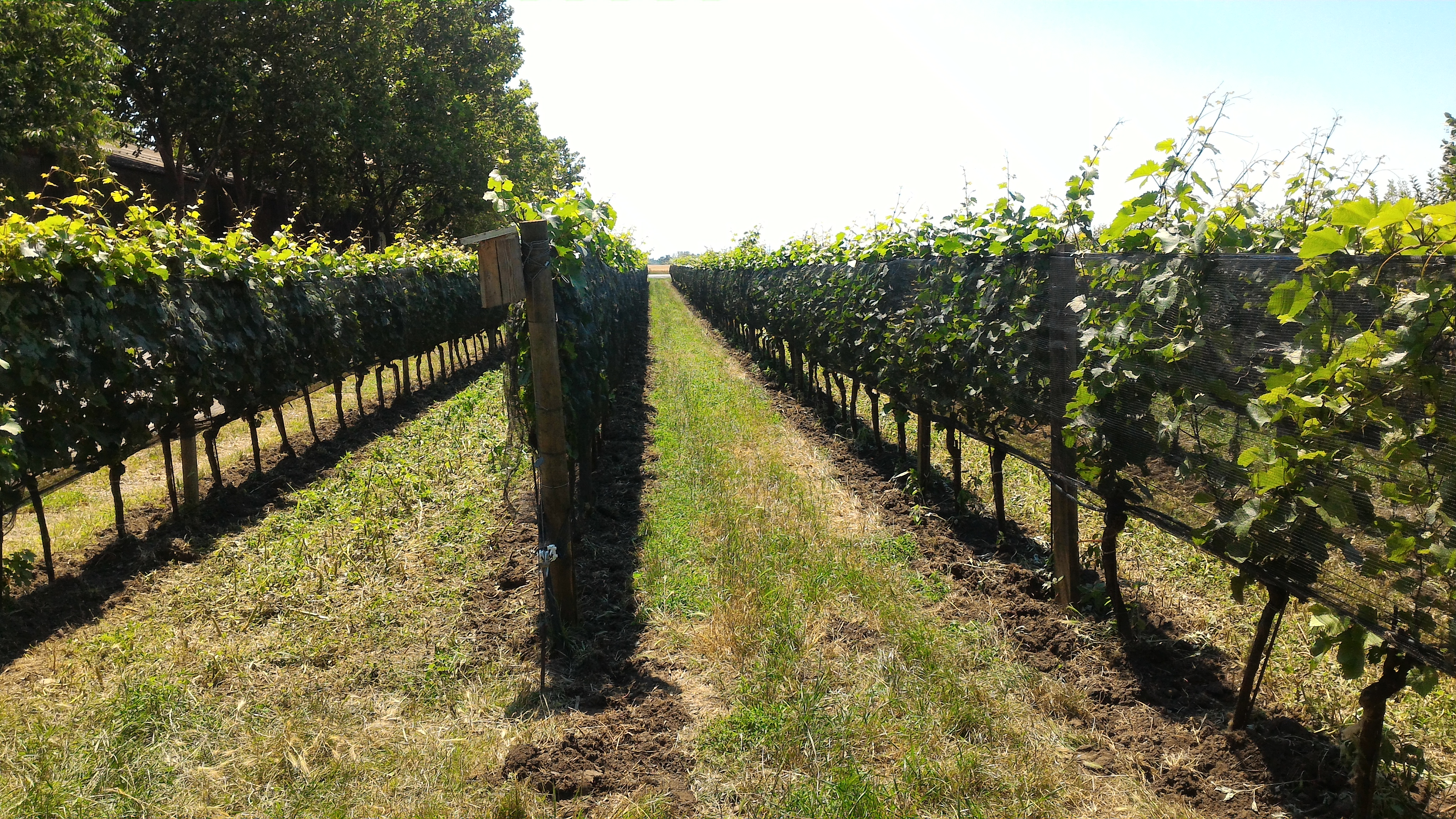 Drought Resistance Phenotyping in Grapevine::Institute of